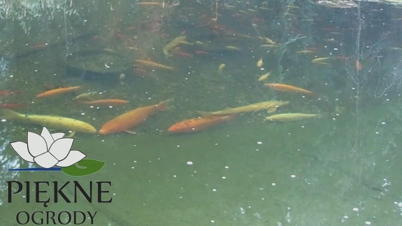 co robią ryby zimą w oczku wodnym