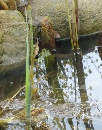 żabka-w-oczku-wodnym