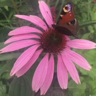 jeżówka z motylem
